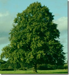 tree in centre of field - Thomas Estley Community College, Broughton Astley